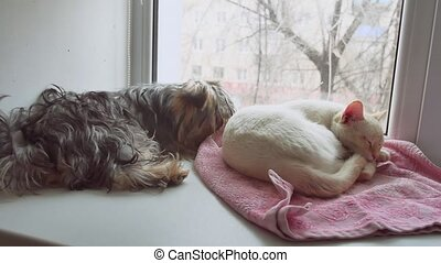 cat and a funny dog Yorkshire Terrier sitting on pet the sill of window