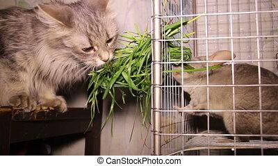 cat and chinchilla