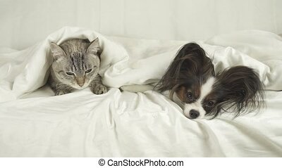 Cat and dog lie under blanket on the bed - Cat and dog lie...