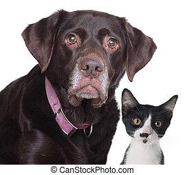 Cat and dog - Old labrador retriever and cat, studio...