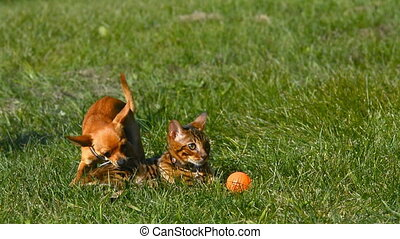 Cat and dog. Toy Terrier mini and Bengal cat.