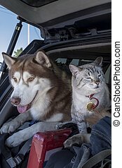 Cat and husky dog travel together in the trunk car.