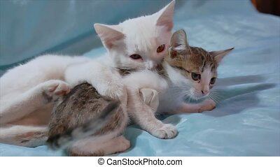 cat and kitten are fighting. two kittens play a fight indoor...