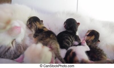 cat and kittens. cat feeds newborn kittens. the cat gives...