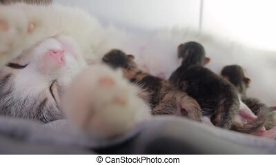cat and kittens. cat feeds newborn kittens. the cat gives birth parturition to kittens. indoors kitten playing sleeps . suck tit blind lovely pet indoors kittens concept