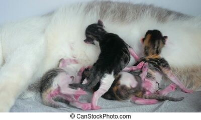 cat and kittens. cat feeds newborn kittens. the cat gives birth parturition to kittens. indoors kitten pet playing sleeps . suck tit blind lovely kittens indoors concept