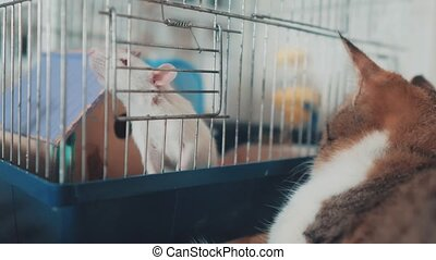 cat and mouse catches a white pet rat in a cage. slow motion video. the cat is playing with the mouse rat funny video. cat and rat mouse animal friends concept lifestyle pets