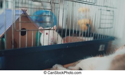 cat and mouse catches a white pet rat in a cage. slow motion video. the cat is playing with the mouse rat funny video. cat and rat mouse animal friends lifestyle concept pets