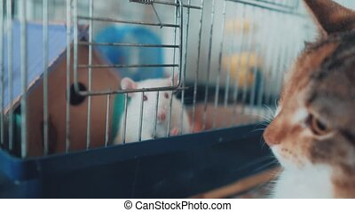 cat and mouse catches a white pet rat in a cage. slow motion video. the cat is playing with the mouse rat funny video. cat and rat mouse animal lifestyle friends concept pets