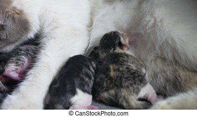 cat and newborn kittens. little kittens sucking a cat's tit....
