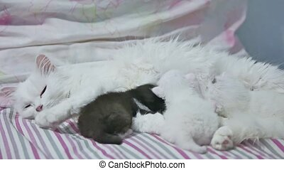 cat and newborn kittens suck boob, drink milk, cute pets -...