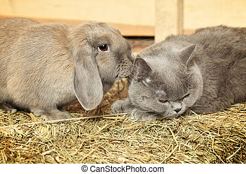 Cat and Rabbit - british shorthair cat and lop rabbit on...