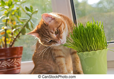 Cat and vase of fresh catnip - Cat sniffing and munching a...