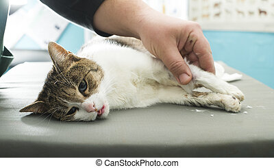 Cat anesthesia in veterinary.
