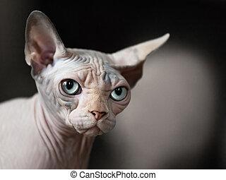 Feline animal pet hairless sphinx domestic cat looking eye