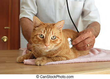 Cat at the vet - Veterinarian listening to cat's heart.