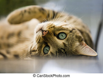 charming Bengal cat lying on his back looking at you with his piercing blue eyes