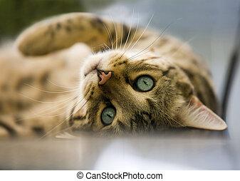 Cat - Bengal cat - charming Bengal cat lying on his back...