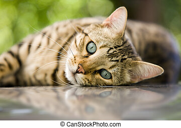 charming Bengal cat relaxing and looking at you with his piercing blue eyes