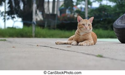Cat - Bengal cat in light brown and cream