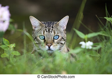 Cat - Bengal looking out