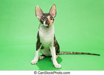 Cat breed Cornish Rex - Young cat breed Cornish Rex sits on...