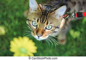 Cat breed Savannah walking on a leash on a green lawn. Snout Savannah tabby cat close-up