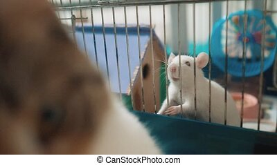 cat catches a white pet rat mouse in a cage. slow motion video. lifestyle the cat is playing with the mouse rat funny video. cat and rat mouse animal friends concept pets