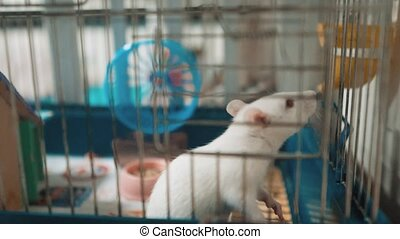 cat catches a white pet rat mouse in a cage. slow motion video lifestyle. the cat is playing with the mouse rat funny video. cat and rat mouse animal friends concept pets