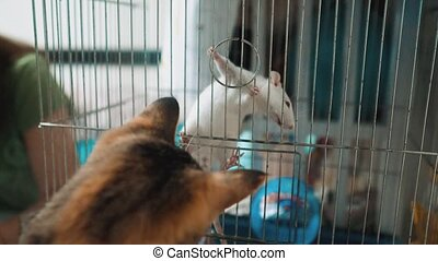 cat catches a white pet rat mouse in a cage. slow motion video. the cat is lifestyle playing with the mouse rat funny video. cat and rat mouse animal friends concept pets