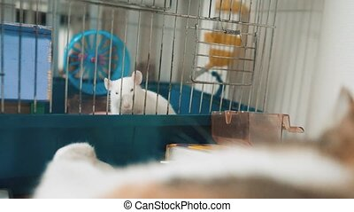 cat catches a white pet rat mouse in a cage. slow motion video. the cat is playing with the mouse rat funny video. cat and rat mouse animal friends concept pets lifestyle