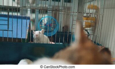 cat catches a white pet rat mouse in a cage. slow motion video. the cat is playing with the mouse rat funny video. cat and rat mouse animal friends lifestyle concept pets