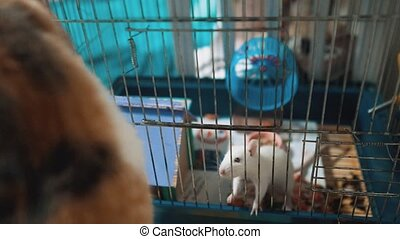 cat catches a white pet rat mouse in a cage. slow motion video. the cat is playing with the mouse lifestyle rat funny video. cat and rat mouse animal friends concept pets