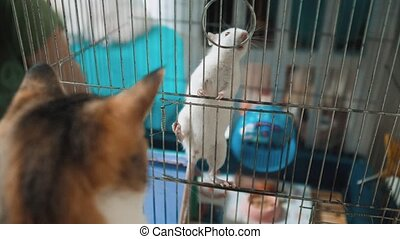 cat catches a white pet rat mouse in a cage. slow motion video. the cat is playing with the mouse rat funny video. lifestyle cat and rat mouse animal friends concept pets