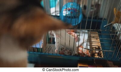 cat catches a white pet rat mouse in a cage. slow motion video. the cat is playing with the mouse rat funny video. cat lifestyle and rat mouse animal friends concept pets