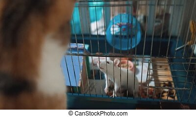 cat catches a white pet rat mouse in a cage. slow motion video. the cat is playing with the mouse rat funny video. cat and rat mouse animal lifestyle friends concept pets