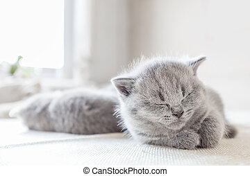 cat., deitando, shorthair., britânico, cinzento