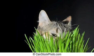 Cat eating fresh green grass
