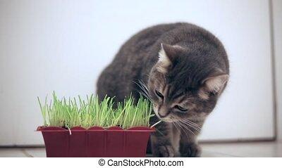 Cat eating green grass pot indoor - Domestic cat food...