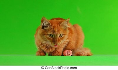 cat eats the sausage on the green screen