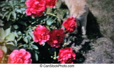 Cat Explores Beautiful Roses-1962 - A cat explores a...