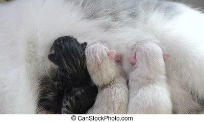 Cat feeding cute little kittens at home. small newborn the...