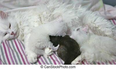 cat feeding kittens. fluffy cat cute newborn kittens. the...