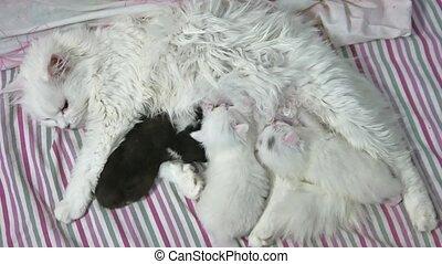 cat feeding kittens. fluffy cute newborn kittens. the Pets...
