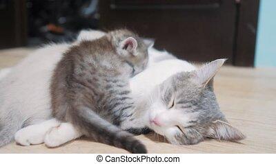 cat feeds little kitten cute video . little cute kitten...