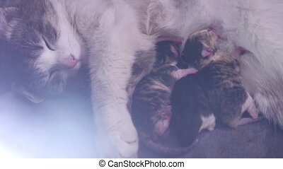 cat feeds newborn kittens. the cat gives birth parturition to kittens. kitten playing sleeps. indoors suck tit blind lovely kittens concept