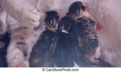 cat feeds newborn kittens. the cat gives birth parturition to kittens. kitten playing sleeps. suck tit indoors blind lovely kittens concept