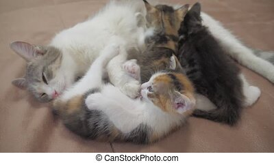 cat feeds small kittens slow motion video. cat mom and fluffy kittens. pets kittens concept lifestyle