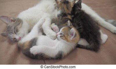 cat feeds small kittens slow motion video. cat mom and fluffy kittens. the pets kittens lifestyle concept
