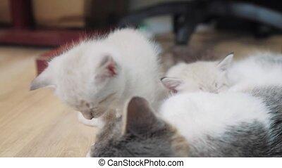 cat feeds two cute white kittens . little cute kitten...